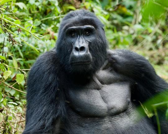3 days Gorilla tracking Safari to Uganda