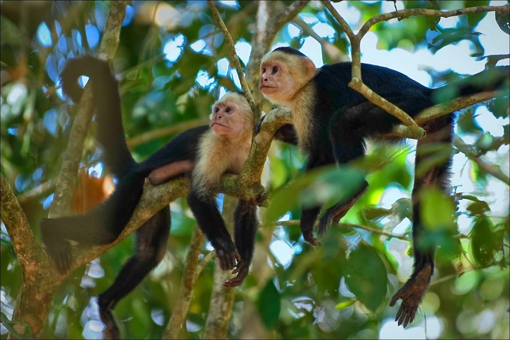 whitefacedcapuchins