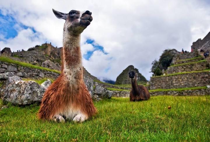 llama at machu picchu inca trail to machu picchu