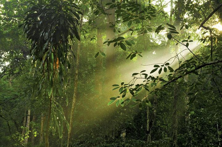 ShaftlightcanopyrainforestMalaysian