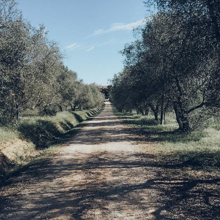 Olive trees (1)
