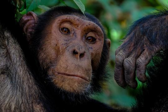 8 days Chimpanzees and Gorilla Safari