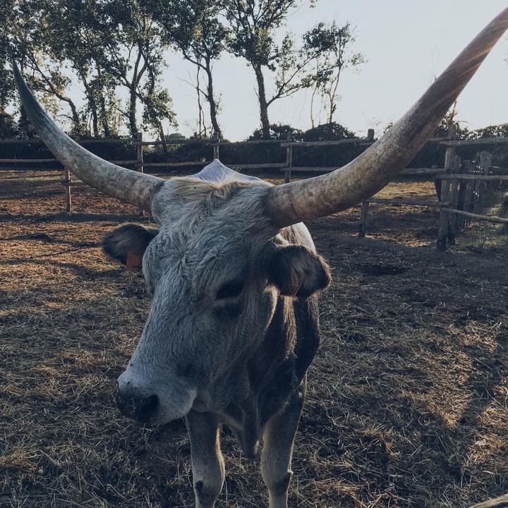 Maremmana cow